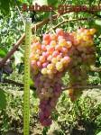 Сорт винограда: Фантазия.