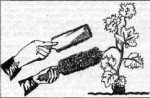 Р и с.73. Искусственное опыление соцветий пуховками