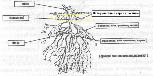 Операции с корнЯми виноградного куста - катаровка сайт о вин.