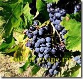 Лечение виноградом рис.2