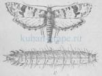 Бабочка и гусеница гроздевой листовертки