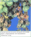 Ложная мучнистая роса винограда, рис.1