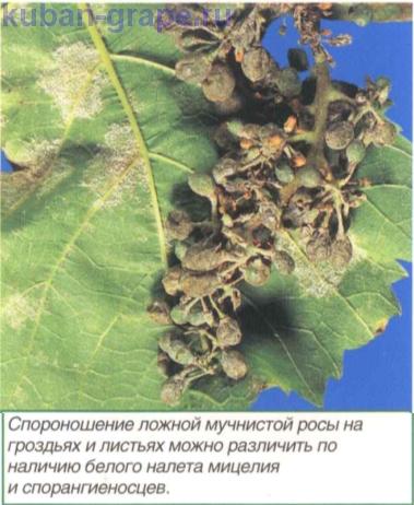 На ягодах винограда темные пятна - 5b25