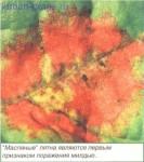 Ложная мучнистая роса винограда, рис.3