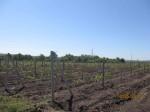 Виноградники Кубани