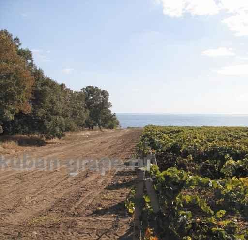 Внешняя защитная лесопосадка на винограднике